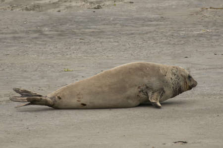 liying: FemaleElephant seal liying on the sandy beach of Peninsula Valdes, in Argentina