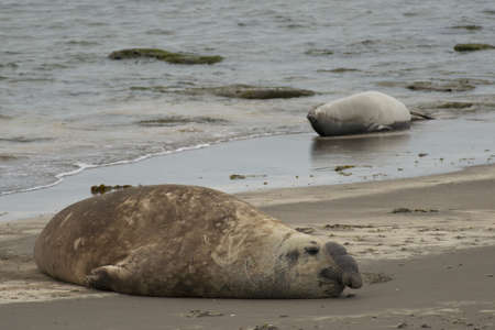 liying: Elephant seal liying on the sandy beach of Peninsula Valdes, in Argentina