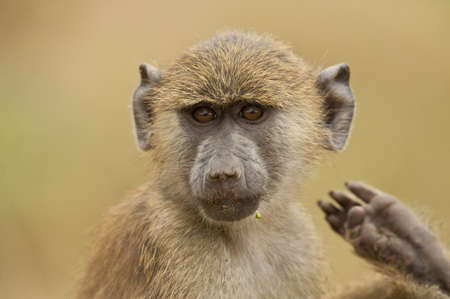 portrait of an olive baboon taken in Amboseli National Park of Kenya photo