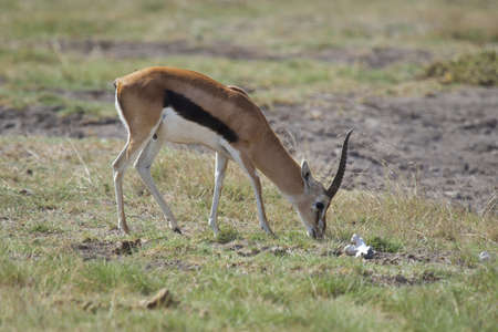 amboseli: Gazelle in Amboseli National Park of Kenya