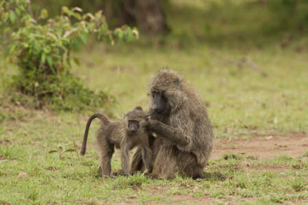 Female olive baboon cleaning its cub in Masai Mara National Park of Kenya photo