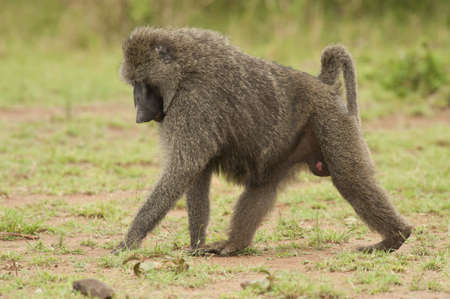 olive baboon in Masai Mara National Park of Kenya photo