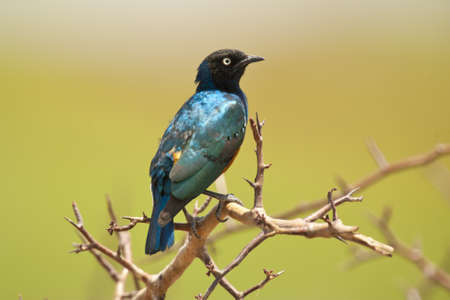 superb: Superb starling in Amboseli National Park of Kenya