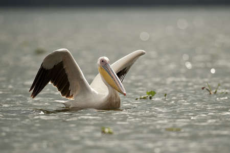 Great white pelican on naivasha lake in Kenya photo