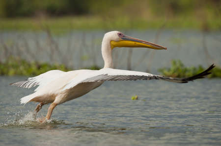 Great white pelican on naivasha lake in Kenya taking off photo