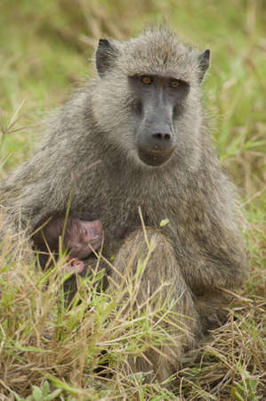 olive baboon and its cub in Amboseli National Park of Kenya photo