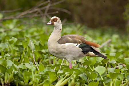 Egyptian goose in Naivasha Lake photo
