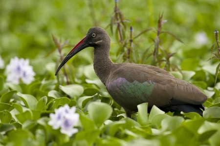lake naivasha: Hadada ibis in lake Naivasha in Kenya