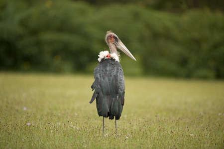 lake naivasha: Marabou stork in lake Naivasha in Kenya