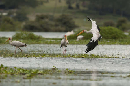 lake naivasha: Yellow-billed stork in Lake Naivasha in Kenya Stock Photo