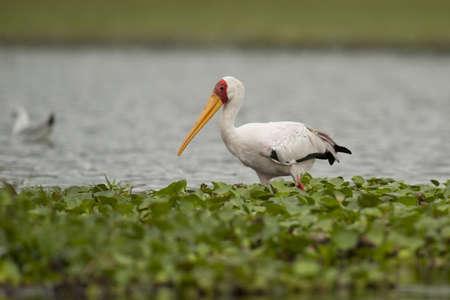 lake naivasha: Yellow-billed stork in Lake Naivasha in Kenya Stock Photo