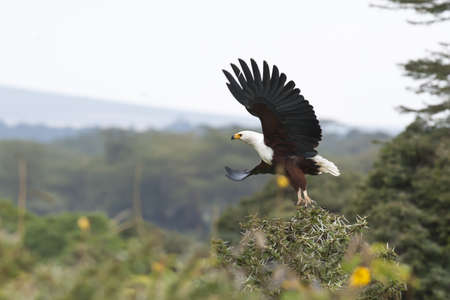 lake naivasha: African fish eagle flying in lake naivasha, kenya