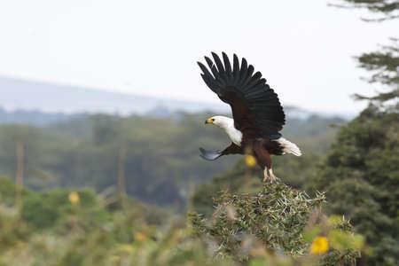 lake naivasha: African fish eagle flying in lake naivasha, kenya