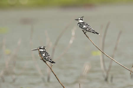 lake naivasha: Two pied kingfishers on a branch in Lake Naivasha