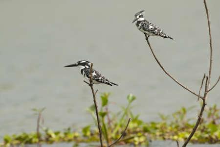 lake naivasha: Two pied kingfishers on a branch in Lake Naivasha