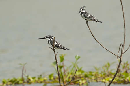 Two pied kingfishers on a branch in Lake Naivasha