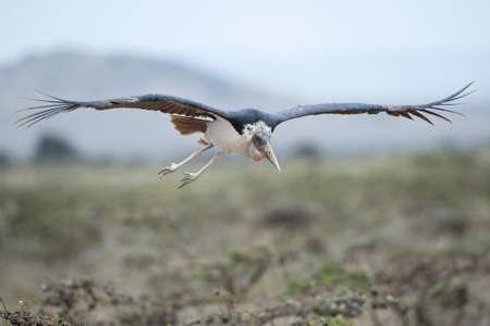 ciconiiformes: Marabou stork in Masai Mara National Park of Kenya