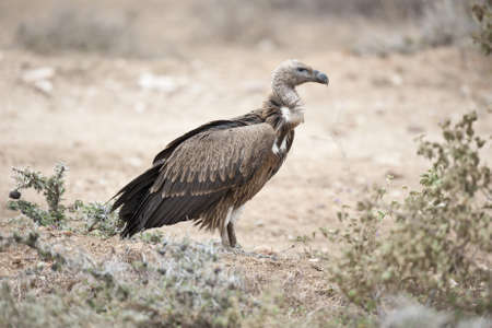 White-backed vulture in Masai Mara National Park Stock Photo