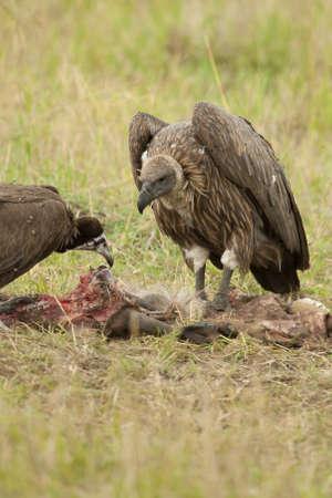 gyps: White-backed vulture in Masai Mara National Park Stock Photo