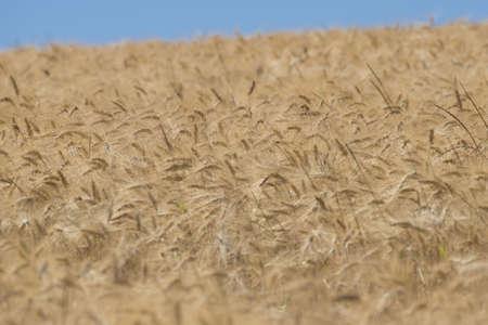 wheatfield: Ear of wheat in a cornfield in Conero Riviera