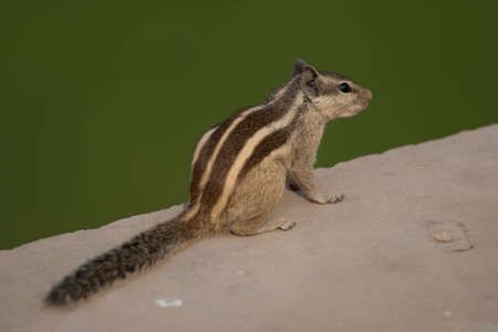A northern palm squirrel, also called five- striped palm squirrel, A rodent that lives in Northern India