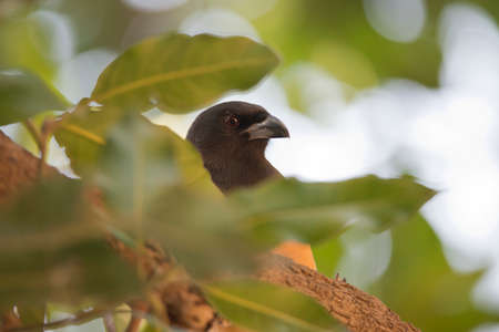 Indian treepie, also called rufous treepie in Ranthambhore National Park photo