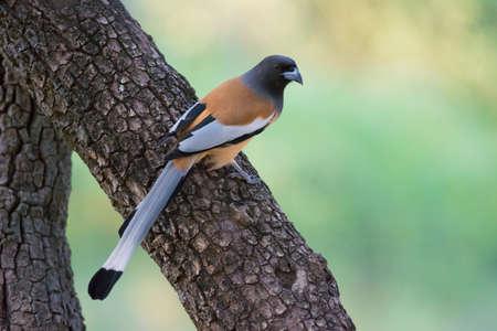 rufous: Indian treepie, also called rufous treepie in Ranthambhore National Park Stock Photo