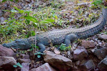 palustris: Indian crocodile in Ranthambhore National Park