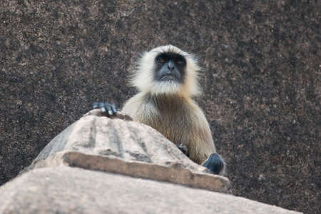 semnopithecus: Portrait of a gray langur, typical indian monkey
