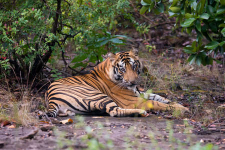 Tiger laying in the forest in Bandhavgarh  National Park - India