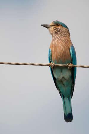coraciiformes: Indian Roller, a  typical indian bird, Scientific name Coracias Benghalensis  Stock Photo