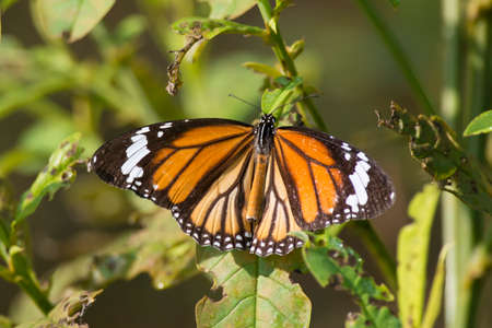 scientifical: Common Tiger butterfly on a leaf in Kanha National Park, India  Scientifical name Danaus Genutia