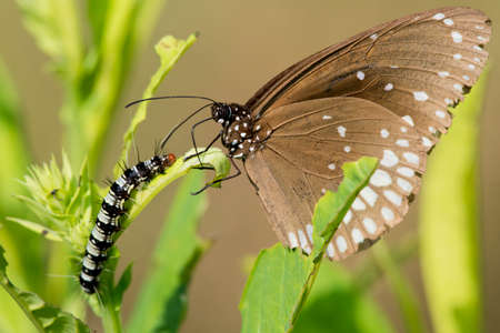 scientifical: Butterfly and Caterpillar on a leaf in Kanha National Park, India  Scientifical name Euploea Core