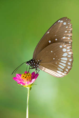 scientifical: Common Crow Butterfly on a flower in Kanha National Park, India, also called common indian crow  Scientifical name Euploea Core