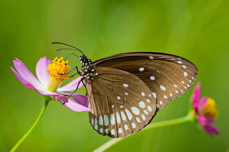 Common Crow Butterfly on a flower in Kanha National Park, India, also called common indian crow  Scientifical name Euploea Core