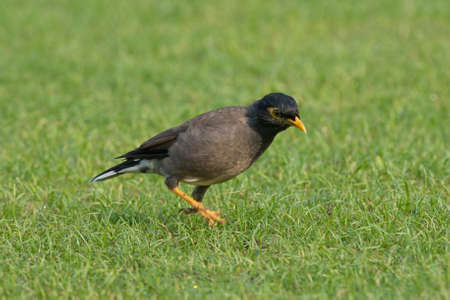 scientifical: Common Myna, also called Indian Myna  Scientifical name Acridotheres tristis