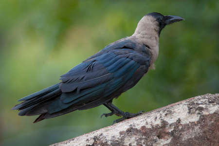 Black crow in India photo