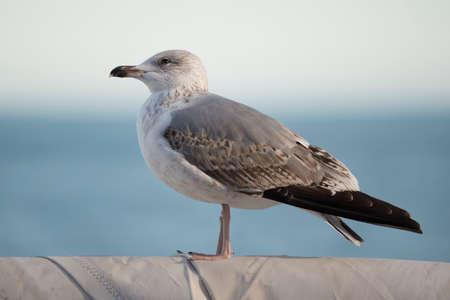 charadriiformes: Yellow-legged gull  scientific name larus michahellis  typical mediterranean bird