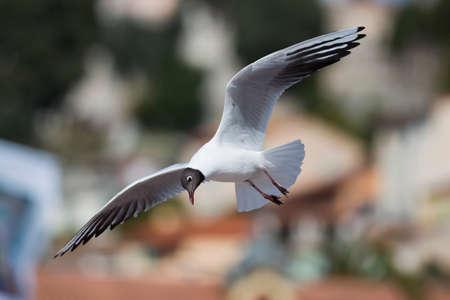 A black-headed gull (scientifical name Laurus Ridibundus) flying Stock Photo