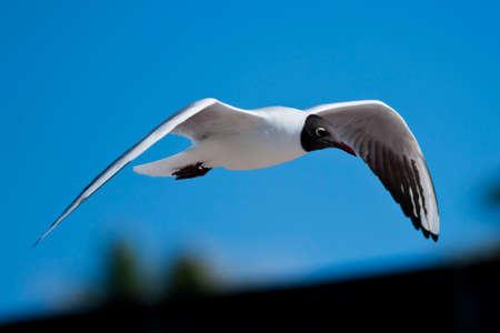 scientifical: A black-headed gull  scientifical name Laurus Ridibundus  flying