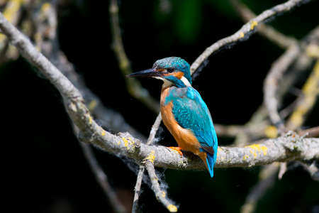 alcedinidae: Kingfisher on a branch in the Lipu Oasi of Torrile in Emilia Romagna Stock Photo