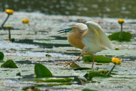 ardeidae: Squacco heron in the swamp of Oasi Lipu Torrile, Italy