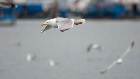 charadriiformes: Gull  typical mediterranean bird of the laridae family