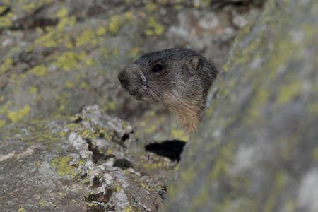 burrow: Alpine marmot near the burrow in the ligurian alps.