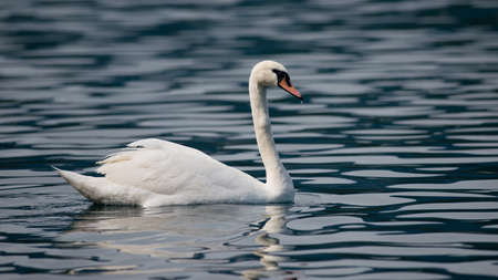 anseriformes: Mute swan in the Bled Lake of Slovenia.