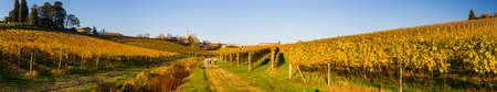 Yellow italian vineyard in autumn, situated in Piedmont. Фото со стока