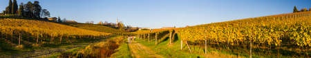 Yellow italian vineyard in autumn, situated in Piedmont. Stock Photo