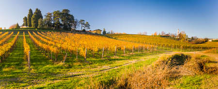 Yellow italian vineyard in autumn, situated in Piedmont. Standard-Bild