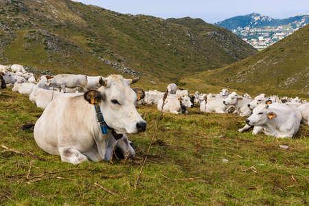 piedmont: Cow in Prato Nevoso, Piedmont, Italy Stock Photo