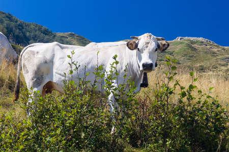 プラート Nevoso、ピエモンテ、イタリアの牛